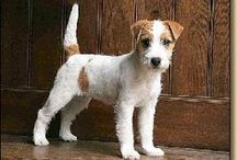 Jack Russell Love ❤