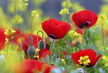 Flowers - Poppies / by Troll Seller