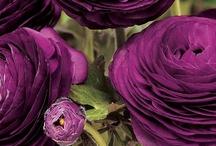 Flowers - Ranunculus / by Troll Seller