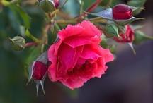 Flowers - Roses / by Troll Seller