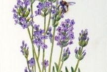 Lavender Projects / by Ursula Hummel