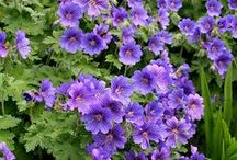 Kurjenpolvet - Geraniums