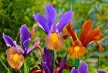 Kurjenmiekat/Iirikset - Irises