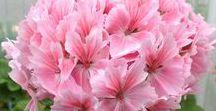 Pelargonit - Geraniums