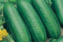 Kurkkuviljelykseni - My Cucumbers in 2015