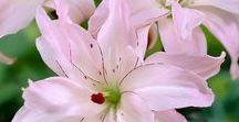 Omia liljojani - My Lilies