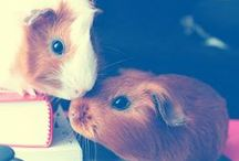 guinea pigs / wheek wheek!