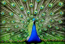 Proud Peacock / by Lili Lily