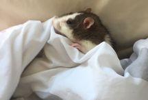 misc. // rats / (comfort interest)