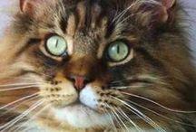 Maine coon / XL cat