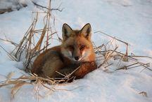 Fox / by Pat Tompkins