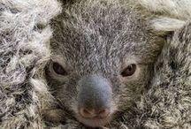 a n i m a l s  II / Australian fauna