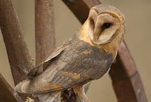 Sovy,sovky,sovičky...Owls / Sovy sú nádherné vtáky.Opradené rúškom tajomstva.