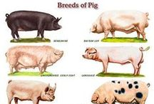 Livestock / Some of the hundreds of types of domestic animals bred & used by man for different purposes.