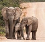 South Africa / Amazing wildlife, vibrant cities and world-class wines, South Africa has it all in abundance. This large, diverse and incredibly beautiful country is one of Africa's premier safari destinations and home of the world famous Garden Route.