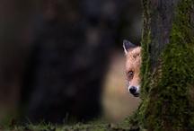 fox corner