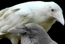 White and albino