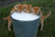 Milk, It Does a Kitty Good / Cats and their milk.  Nummy Leche!