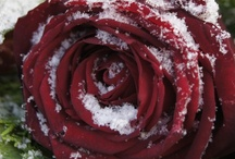 The Red Rose Magazine / Red Roses