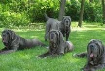 #Mastiff #Breed / Something about this awesome #breed ! #Mastiff #dogs are the best!