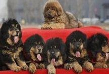 #Mastiff #puppies / Bunch of cuteness)