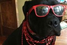 #Funny #photos of #mastiffs  / Hare are #mastiff #dogs of any #breed, because they are All awesome...and funny