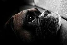 FAMIGLIA CERCASI / Boxer senza famiglia in attesa di essere adottati