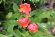 Annuals and Perennials / Annual and perennial flowers in our garden