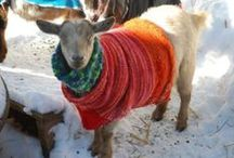 Animal - Caprinae - goats and sheep / The domestic goat is a subspecies of goat domesticated from the wild goat of southwest Asia and Eastern Europe. The goat is a member of the family Bovidae and is closely related to the sheep as both are in the goat-antelope subfamily Caprinae