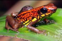 Animal - Amphibians - frogs, toads, salamanders, and newts / The word amphibian means two-lives. Amphibians spend their lives in the water and on land.