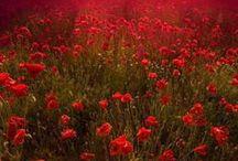 Poppy Flowers-Vlčie maky