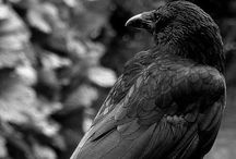Crows / I love crows. They make me laugh! / by Barbara Leyne