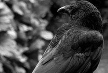 Crows / I love crows. They make me laugh! / by Barbara Leyne Designs