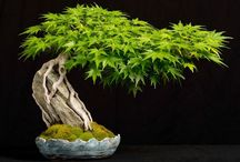 Bonsai / A kind off art