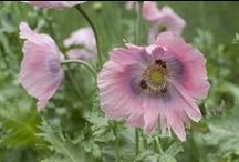 Bee-Friendly Flowers / Pollinators love our open-pollinated flowers