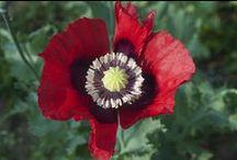 Heirloom Poppy / Our exclusive mix of heirloom poppies, Papaver somniferum.