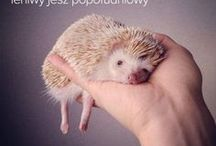 ღ Hedgehogs ღ