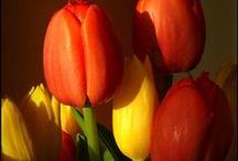 Tulips my Madness