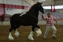 Horses / Clydesdales