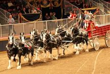 Clydesdales / Clydesdales, show horses,