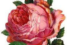 Roses / by Yelena Berenshteyn
