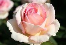 Rose garden / by Yelena Berenshteyn