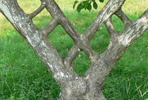 Tree Shaping / Tree shaping is the practice of shaping living trees into artistic shapes and useful structures. There are a few different methods of shaping trees. Tree shaping shares a common heritage with other artistic horticultural and agricultural practices, such as pleaching, bonsai, espalier, and topiary, and employing some similar techniques while also having some unique techniques.   Many different tree species have been used, but some trees are better suited than others.
