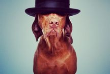 Vizslas & Weims / Our dog is a Vizsla and he is dandy, goofy one, like these another ones... :-P