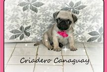 PUGS CARLINOS CANAGUAY / Hermosos pug carlinos #ventapug #cachorritospug #pugbogota #pugcolombia