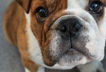 BuLLdoGs <3 !!!!!!!!!!!!!!!!! / by Jessie Dixon