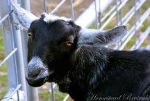 Goats / by Love My Books II