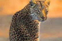 #Wild cats #Lions #Leopards #Cougars #Lynx #Cheetah #Jaguar #Дикие кошки #Лев #Леопард #Гепард #Тигр / #Онлайн #психолог #домашних #питомцев - #animal #psychology  https://www.facebook.com/animal.psychology #Психолог домашних питомцев http://psychologiespets.ru/ #
