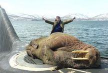 fur, seals, arctic and cabinet