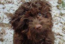 Dogs&puppies / Schnoodles, Poodles, labradoodles, goldendoodles, hybridpoodles...